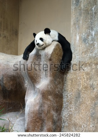 panda bear resting in the zoo - stock photo