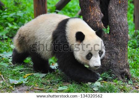 Panda bear walking in forest - stock photo