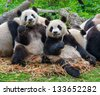 Panda bears eating together - stock photo