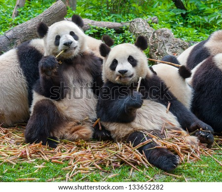 Panda bears eating together - stock photo