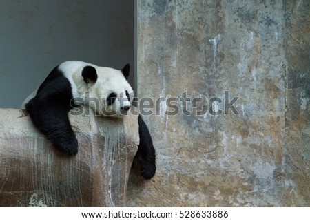 Panda cute model taking a nap on rock