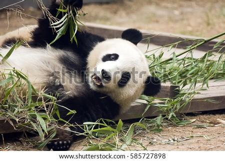 stock-photo-panda-eating-bamboo-leaves-5
