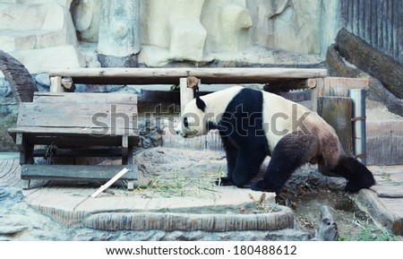 panda in the zoo, Thailand, Chiang Mai - stock photo