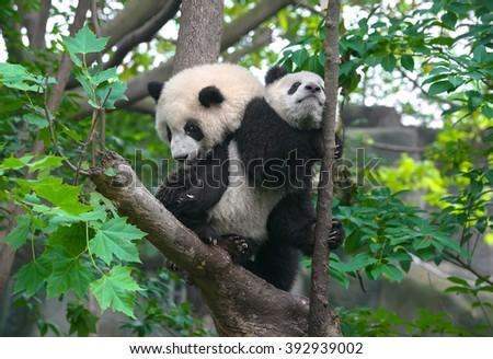 Panda mother and cute panda cub in tree  - stock photo