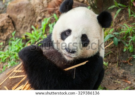 Panda sleeping, eating bamboo in the forest