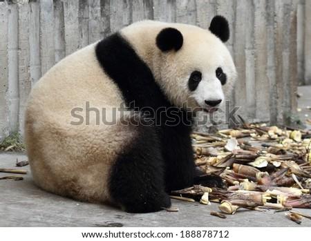 Panda tongue looking at viewer - stock photo