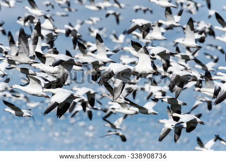 Panicked Snow Geese Taking off and Flying against Blue Sky in Fall - stock photo