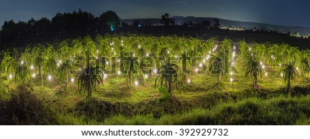 Panorama Garden dragon shine at night with lights shining in a long line along dragon fruit orchards as daylight to reverse dragon fruit. This progressive farming practices by farmers in crop - stock photo