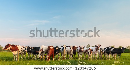 Panorama image of curious Dutch milk cows in a row - stock photo