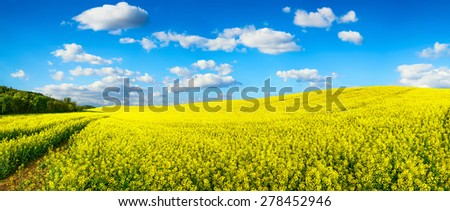 Panorama landscape showing a vast field of blossoming bright yellow rapeseed on a hill, with vibrant blue sky and white clouds - stock photo