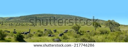 Panorama Masai Mara national park with many elephant - stock photo