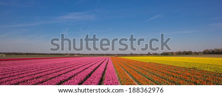 Panorama of a field of tulips in pink, orange and yellow in the Netherlands - stock photo