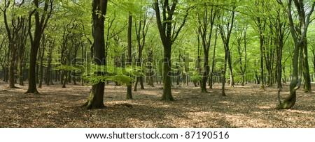 panorama of beech woods in springtime - stock photo