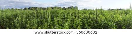 Panorama of farm field with green marijuana                                - stock photo