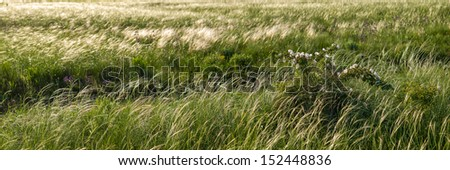 Panorama of large meadow with a feather grass and wild rose bush - stock photo