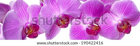 panorama of orchid flower - stock photo