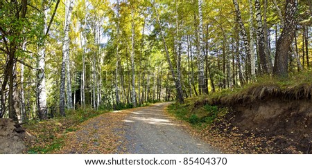 Panorama of road in an autumn birches forest in alps mountains
