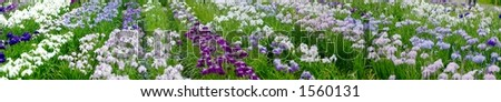 Panorama of the field of irises with dew - stock photo
