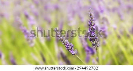 Panorama on two sprigs of lavender