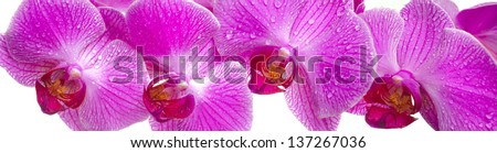 panorama view over pink orchid flowers - stock photo