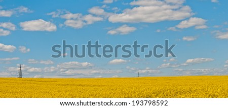 panorama with flowering rapeseed field