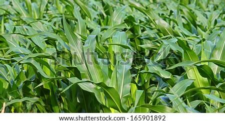 Panoramic Cornfield Background - stock photo