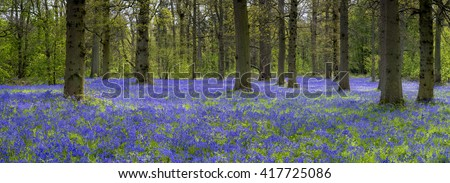 Panoramic image of bluebells at Blickling. - stock photo