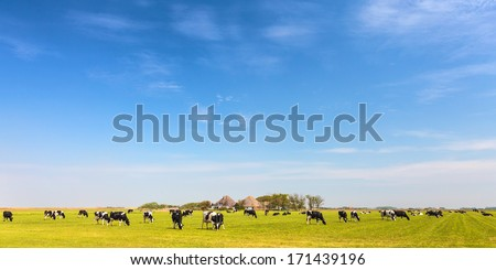 Panoramic image of milk cows on the Dutch island of Texel in summer - stock photo