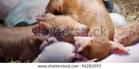 panoramic image of new born piglets sleeping with siblings