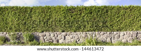 Panoramic image of the green hedges of a live evergreen Thuja tree. Used three shots. Sunny summer day. The base border  is made of granite boulders. - stock photo