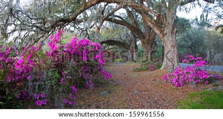 Panoramic of azaleas and oak trees at the Magnolia Plantation in Charleston, SC - stock photo
