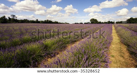 panoramic photo of a large lavender field. The lines of purple plants create a strong perspective framed by a deep blue Summer sky and cumulus cloud