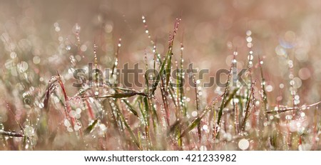 Panoramic view closeup pink grass with droplets of dew in the morning sun for create a charming picture.soft focus shallow DOF. - stock photo