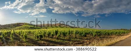 Panoramic view of a vineyard - stock photo