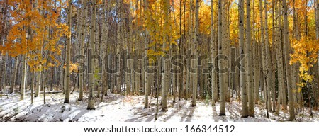 Panoramic view of Aspen trees in winter time - stock photo