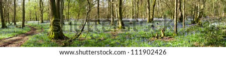 Panoramic view of Bluebells in wood, springtime in Surrey, England - stock photo