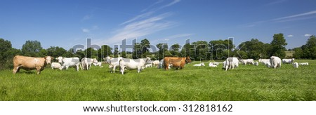 Panoramic view of cows on green grass. - stock photo
