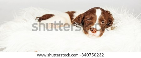 Panoramic view of dog sleeping on fur over white background. Image sized to fit popular social media banner. - stock photo