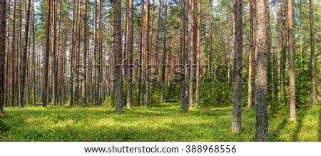Panoramic view of fir forest on a summer day - stock photo