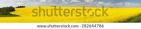 Panoramic view of flowering field of rapeseed - brassica napus - plant for green energy and oil industry - stock photo