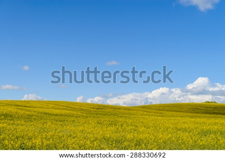 Panoramic view of flowering field of rapeseed plant for green energy and oil industry - stock photo