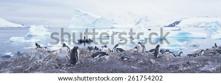 Panoramic view of Gentoo penguins with chicks (Pygoscelis papua), glaciers and icebergs in Paradise Harbor, Antarctica