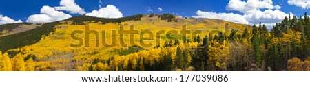 Panoramic view of massive aspen forest in the Colorado Rocky Mountains during Fall - stock photo