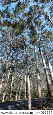 Panoramic view of the Boranup National park karri forest between Augusta and Yallingup Western  Australia on a sunny winter afternoon. - stock photo