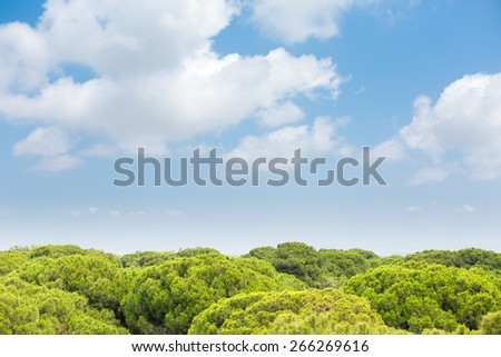 Panoramic view of tops of pine trees and deep blue sky - stock photo