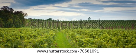 Panoramic wine image. This image is a panoramic shot of the grape fields in Canada showing the rows and rows of grapes ready to be harvested - stock photo
