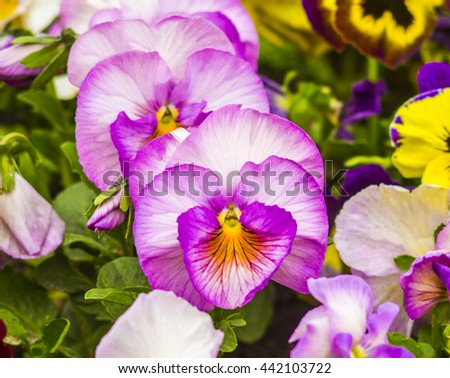 pansies Colorful floral background from flower pansy - stock photo