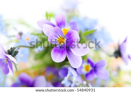 pansies on white background.Floral border. - stock photo