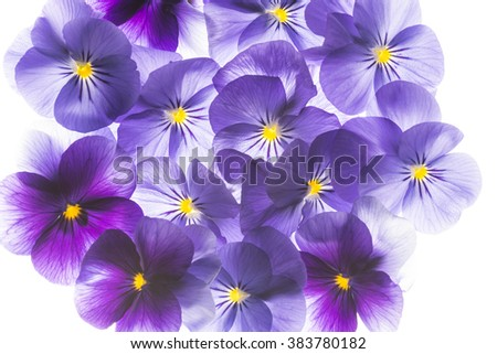 pansy flower close up - flower background - stock photo