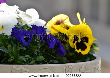 Pansy flowers in a stone planter - stock photo